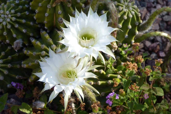 cactusflowersandquail 019 - copy - copy